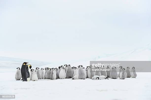 Emperor penguin chick and adult in rookery.