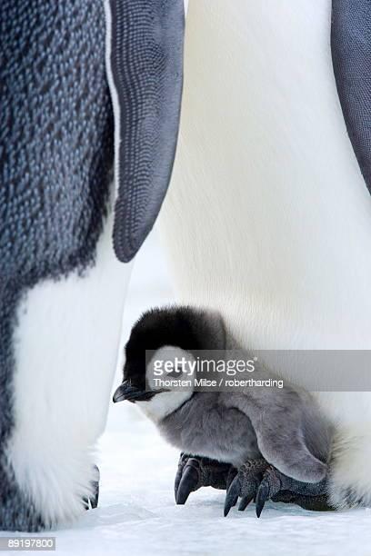 emperor penguin chick aptenodytes forsteri, snow hill island, weddell sea, antarctica, polar regions - snow hill island stock photos and pictures