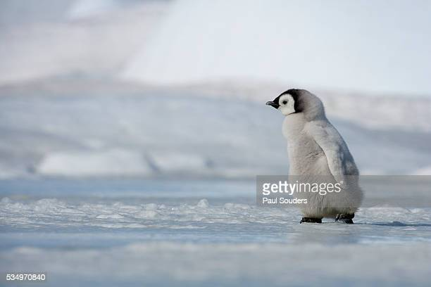 emperor penguin chick in antarctica - emperor penguin chick stock pictures, royalty-free photos & images