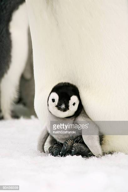 emperor penguin chick on feet - pinguïn stockfoto's en -beelden