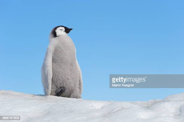 emperor penguin chick. - emperor penguin chick stock pictures, royalty-free photos & images