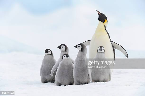 emperor penguin chicks and adult. - emperor penguin chick stock pictures, royalty-free photos & images