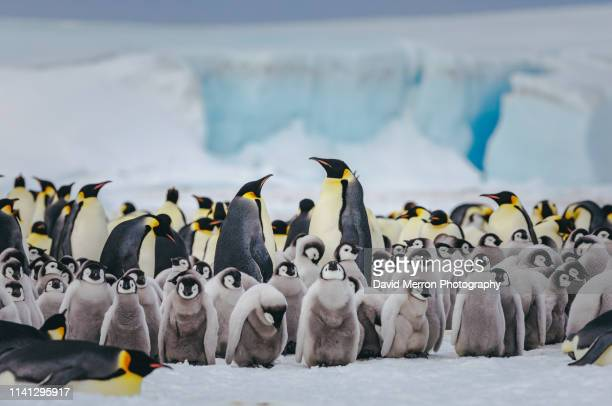 emperor penguin chicks and adults populate the busy colony at snow hill isalnd - un animal fotografías e imágenes de stock