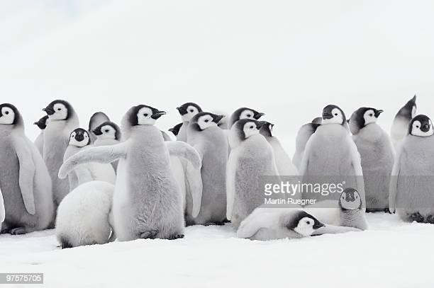 Emperor penguin chicks.
