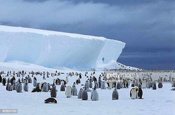 emperor penguin (aptenodytes forsteri) colony and iceberg - weddell sea - fotografias e filmes do acervo