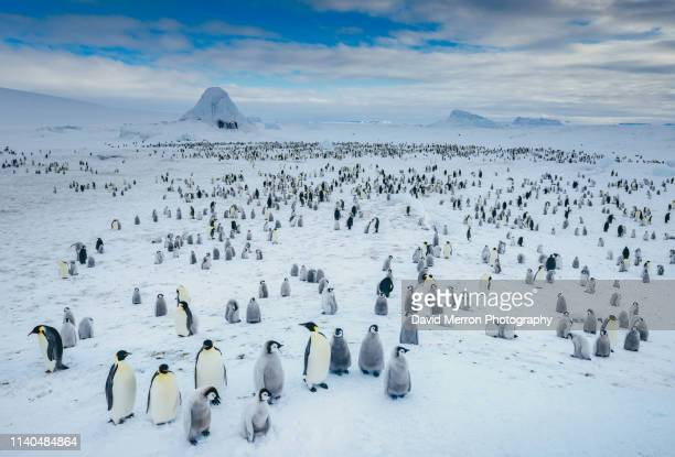 emperor penguin colony panorama - eisheilige stock-fotos und bilder