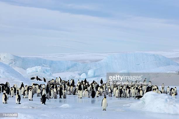 emperor penguin colony (aptenodytes forsteri), snow hill island, weddell sea, antarctica, polar regions - weddell sea fotografías e imágenes de stock