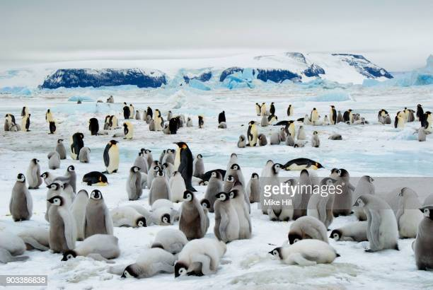 Emperor Penguin Colony with Creche of young birds