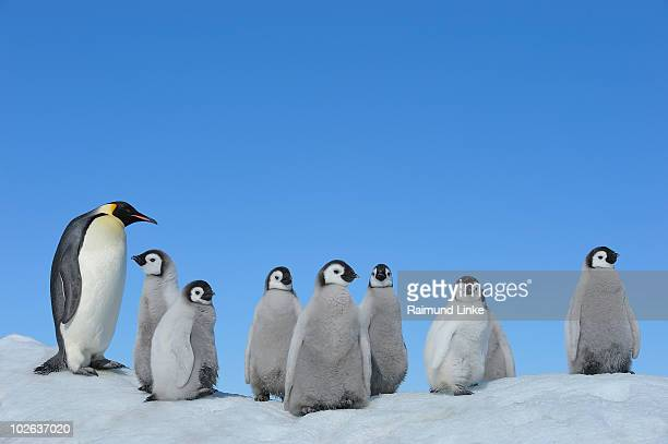 emperor penguin - emperor penguin chick stock pictures, royalty-free photos & images