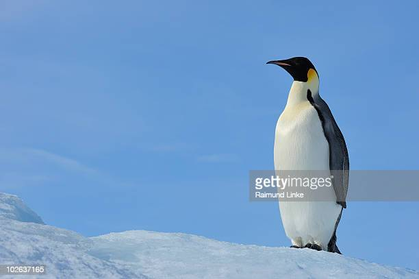 emperor penguin - snow hill island stock photos and pictures
