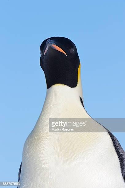 Emperor Penguin (Aptenodytes forsteri).