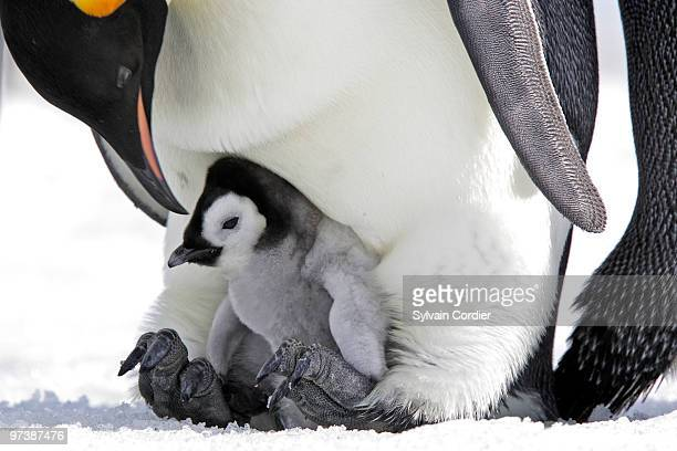 emperor penguin - young animal stock pictures, royalty-free photos & images