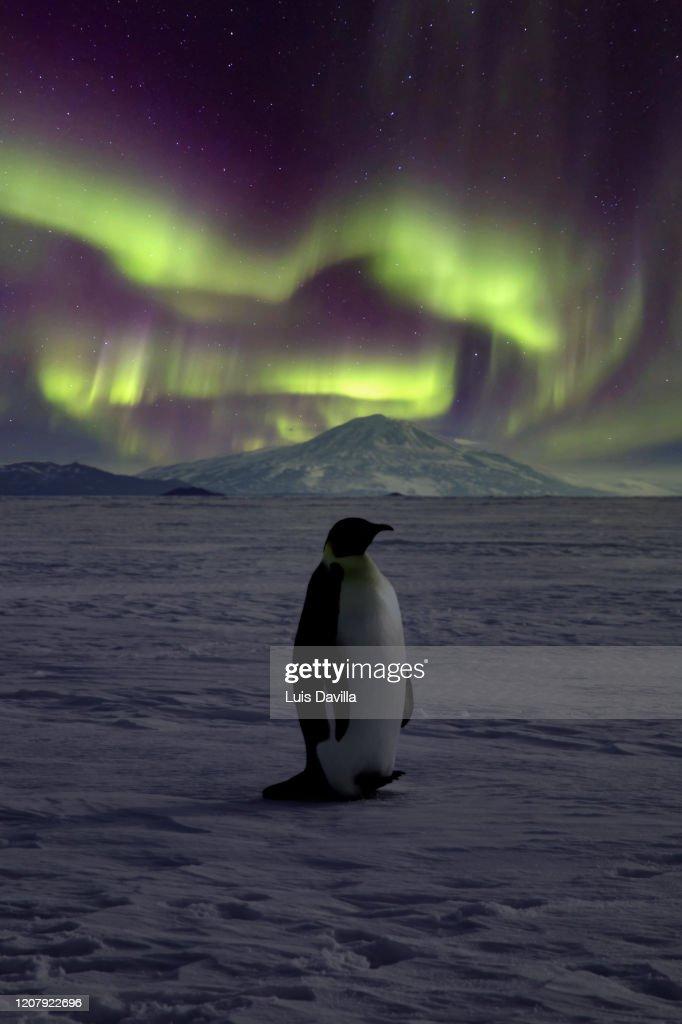 Emperor Penguin. Ross Sea. Antarctica : Stock Photo