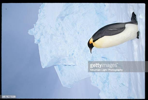 Emperor Penguin Standing near Glacier