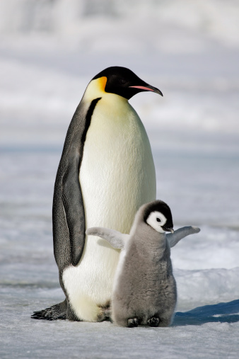 Emperor Penguin with Chick 184860539
