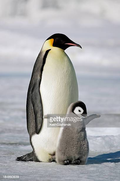 emperor penguin with chick - pinguïn stockfoto's en -beelden