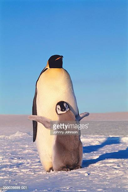 emperor penguin with chick (aptenodytes forsteri) - emperor penguin chick stock pictures, royalty-free photos & images