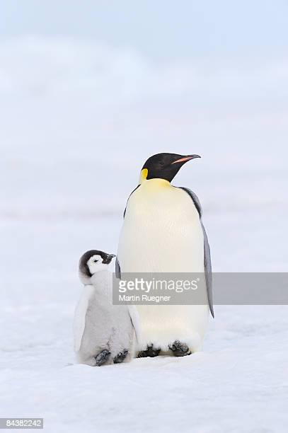 emperor penguin with chick. - animal family stock pictures, royalty-free photos & images