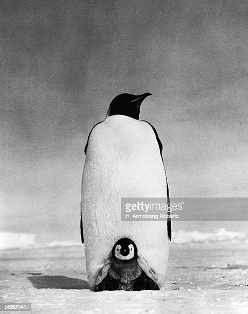 Emperor penguin with chick resting on it's feet to keep warm