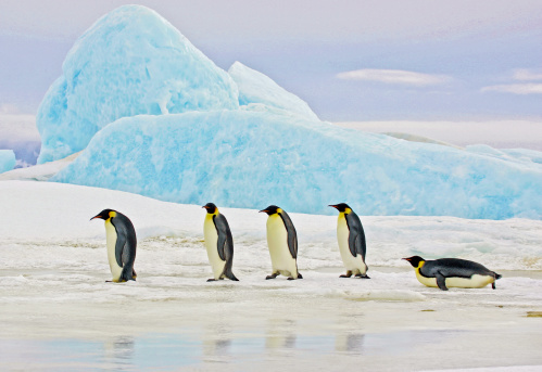 Emperor Penguins and Blue Iceberg 187251251