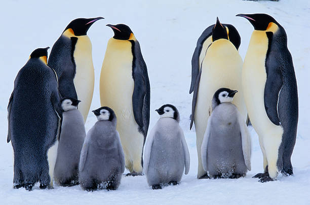 Emperor penguins and chicks (Aptenodytes forsteri)