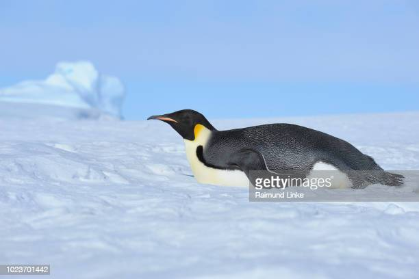 emperor penguins, aptenodytes forsteri, adult lying on ice, snow hill island, antartic peninsula, antarctica - weddell sea stock photos and pictures