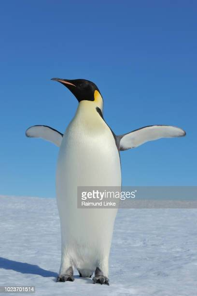 emperor penguins, aptenodytes forsteri, adult spreading wings, snow hill island, antartic peninsula, antarctica - antarctic ocean stock pictures, royalty-free photos & images