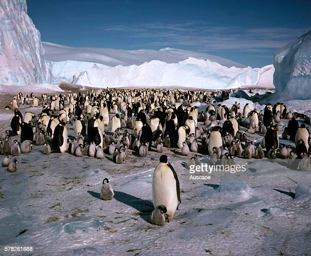 Emperor penguins Aptenodytes forsteri adults and chicks Near Mawson Station Australian Antarctic Territory