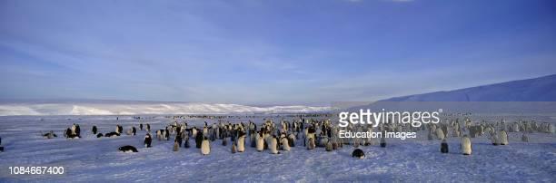 Emperor Penguins Aptenodytes forsteri colony at DawsonLambton Glacier Weddell Sea Antarctica