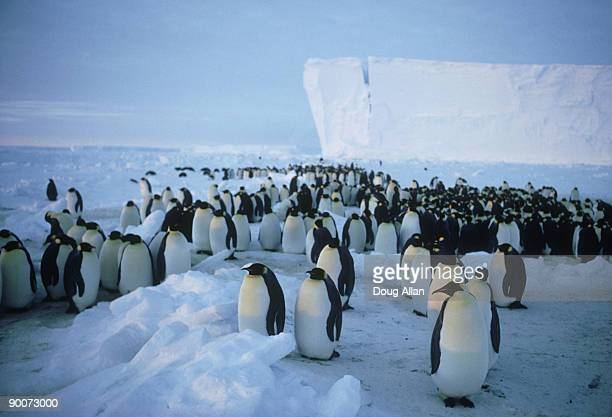 emperor penguins, aptenodytes forsteri  gathering on rookery , april  brunt ice shelf, antarctica