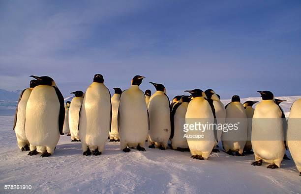 Emperor penguins Aptenodytes forsteri group of adults Cape Roget Ross Sea Antarctica