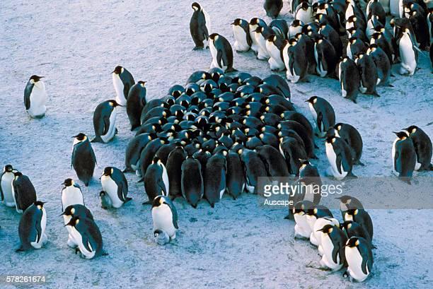 Emperor penguins Aptenodytes forsteri huddled together for warmth Taylor Glacier Antarctica