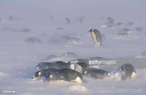 Emperor penguins Aptenodytes forsteri in blizzard Antarctica