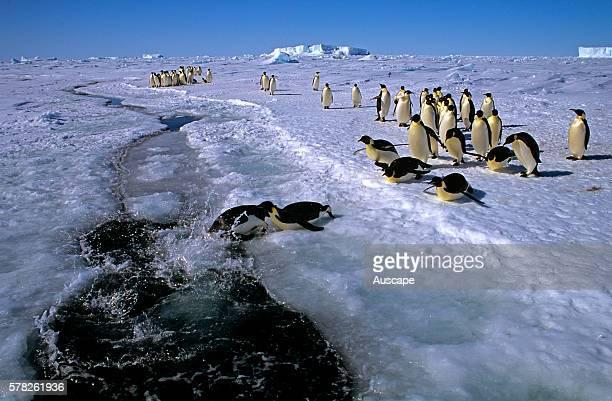 Emperor penguins Aptenodytes forsteri negotiating a tide crack near colony Cape Roget colony Ross Sea Antarctica