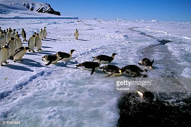 Emperor penguins Aptenodytes forsteri negotiating a tide crack near colony Cape Roget colony Ross Sea Ross Sea Antarctica