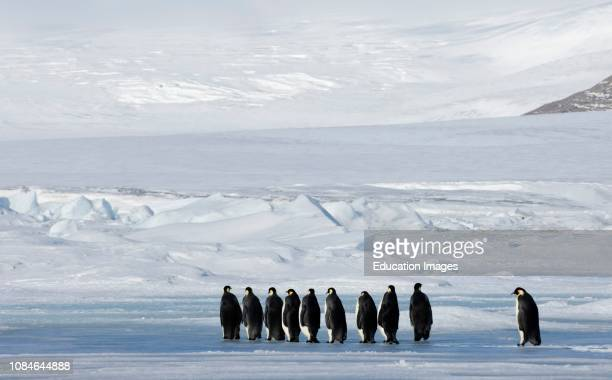 Emperor Penguins Aptenodytes forsteri on the march to the sea from their colony Snow Hill Island Antarctica
