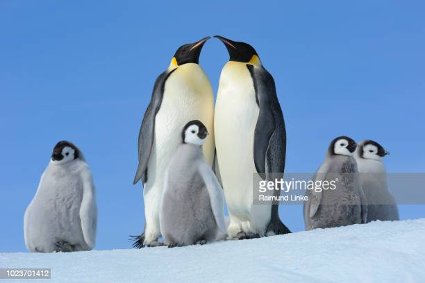 emperor penguins, aptenodytes forsteri, pair with chicks, snow hill island, antartic peninsula, antarctica - emperor penguin chick stock pictures, royalty-free photos & images