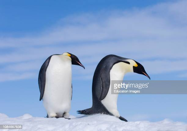 Emperor Penguins Aptenodytes forsteri two adults Snow Hill Island Weddell Sea Antarctica
