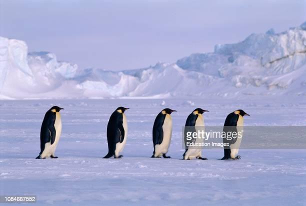 Emperor Penguins Aptenodytes forsteri walking across the sea ice of the Weddell Sea returning to DawsonLambton Glacier colony after fishing trip...