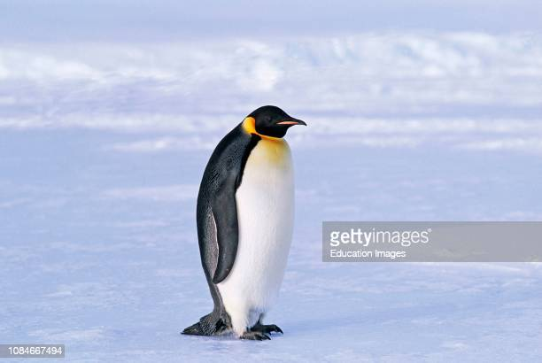 Emperor Penguins Aptenodytes forsteri Weddell Sea Antarctica