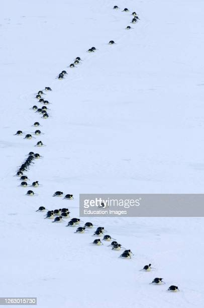 Emperor Penguins, Aptenodytes fosteri, travelling across sea ice of Weddell Sea near Snow Hill Island, Antarctica.