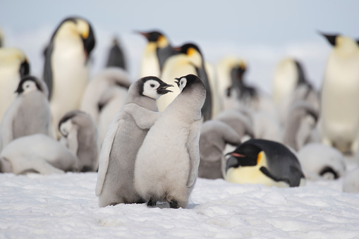 Emperor Penguins at Snow Hill. - gettyimageskorea