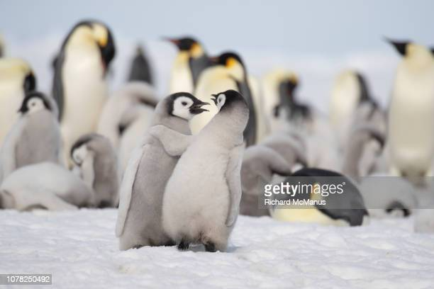 emperor penguins at snow hill. - emperor penguin chick stock pictures, royalty-free photos & images