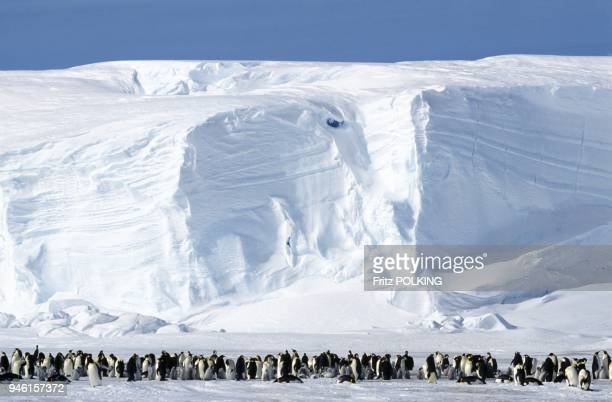 Emperor penguins Dawson Lambton Glacier Antarctica
