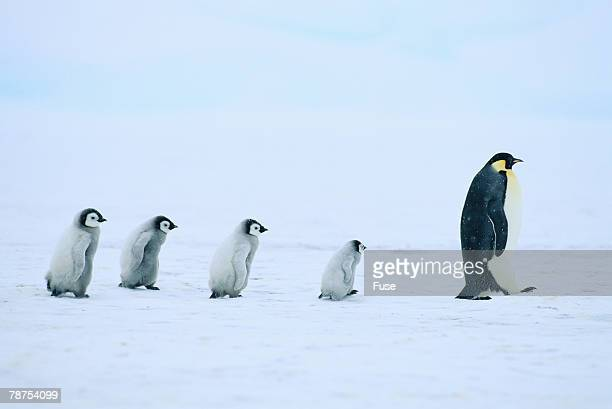 emperor penguins following an adult - following stock pictures, royalty-free photos & images