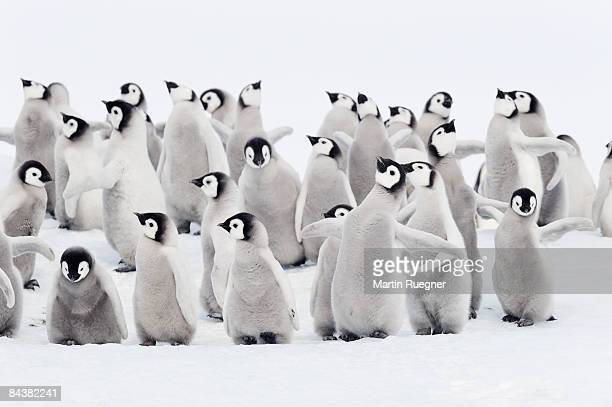 emperor penguins, group of chicks. - pinguïn stockfoto's en -beelden