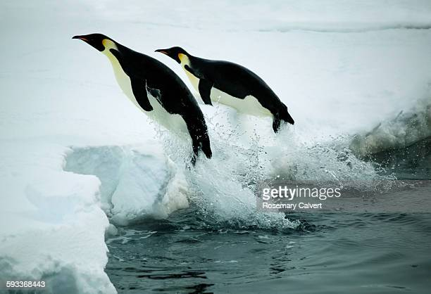 Emperor penguins leap from water onto ice