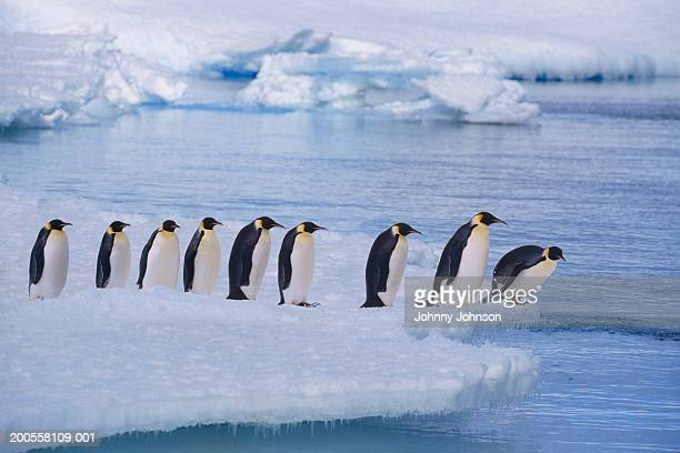 Emperor penguins (Aptenodytes forsteri) line up at water's edge