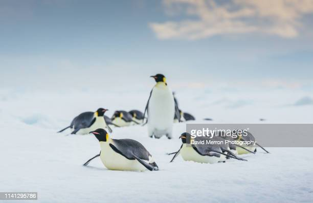 emperor penguins make their way along the sea ice in a line as they head back to their colony to feed their chicks. - eisheilige stock-fotos und bilder