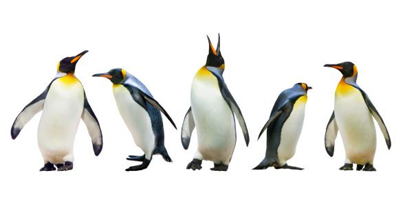 Emperor penguins 477447133